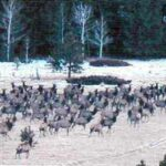 Elk at the base of Loco Mountain